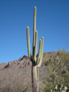 A stately saguaro in Saguaro National Momument WEst